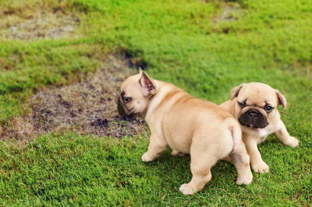 Two small dogs sitting on lawn with bald spots