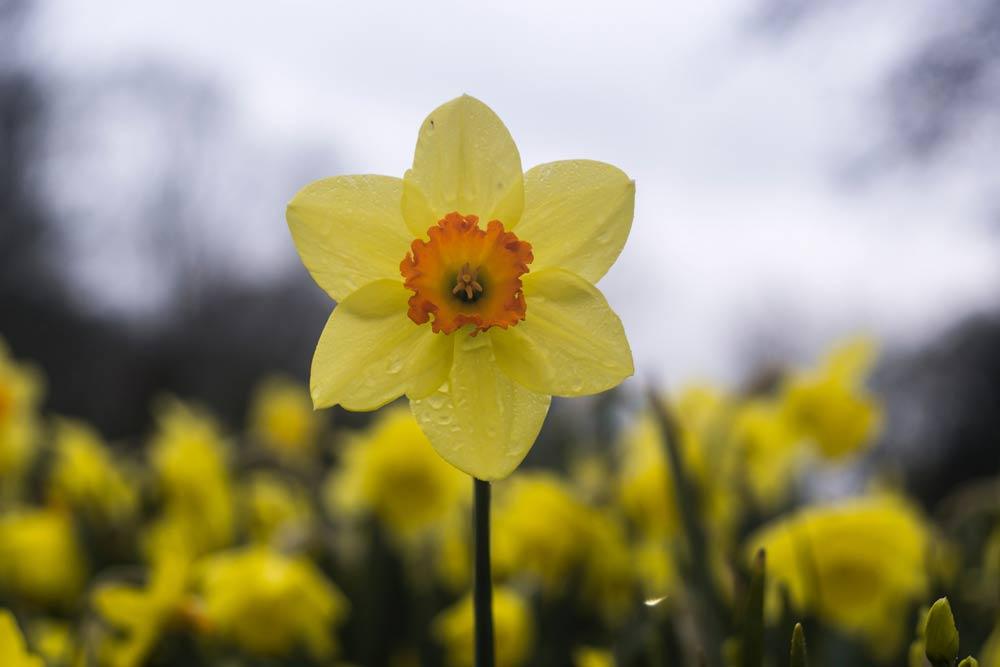 daffodil-spring-garden.jpg