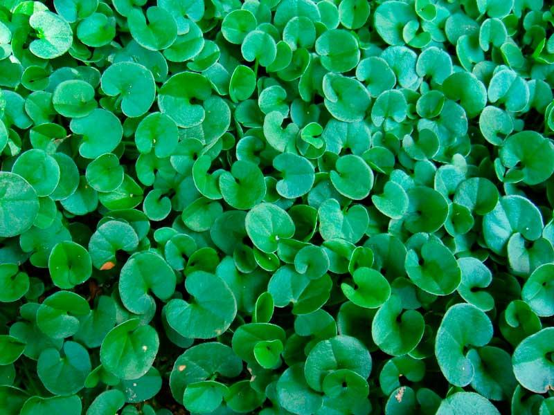 2. Mercury Bay weed