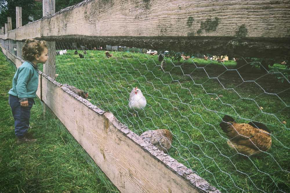 AN OPPORTUNITY TO LEARN: WHEN YOUR SON'S SCHOOL ADOPTS RESCUE CHICKENS -