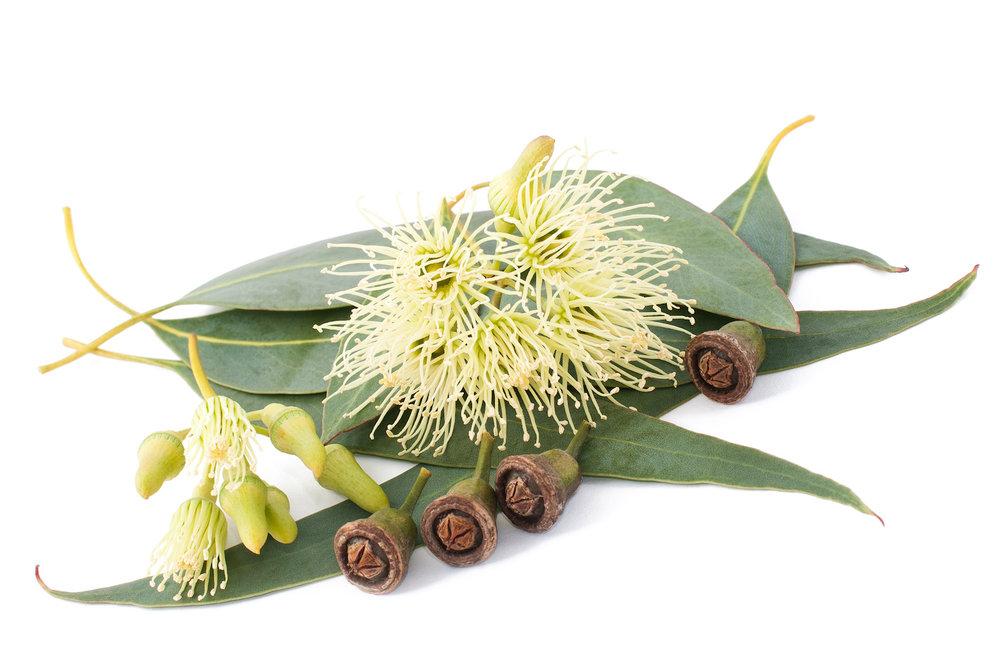 Eucalyptus.jpeg