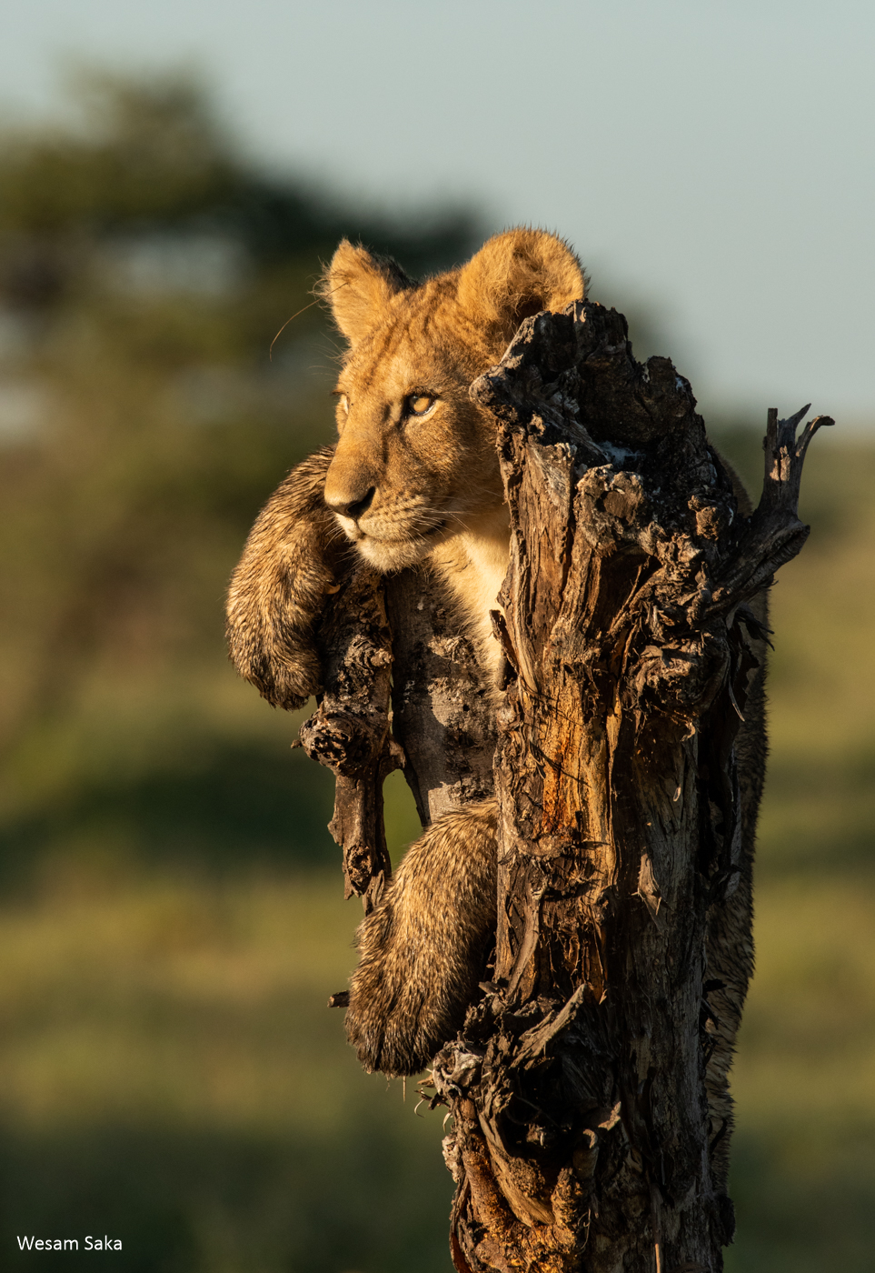 A lion cub on the top of a dead tree in the Serengeti National Park, Tanzania