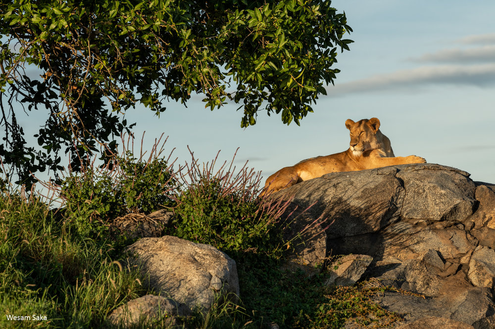 A lioness embracing the sunset in the Serengeti National Park, Tanzania