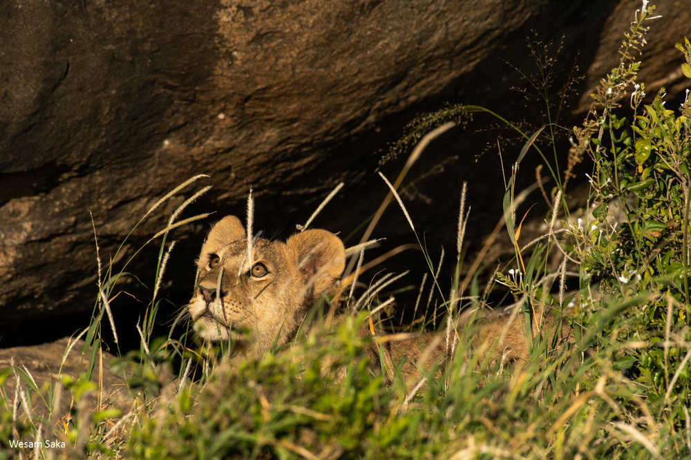 A lion cub emerging from its den in the Serengeti National Park, Tanzania.
