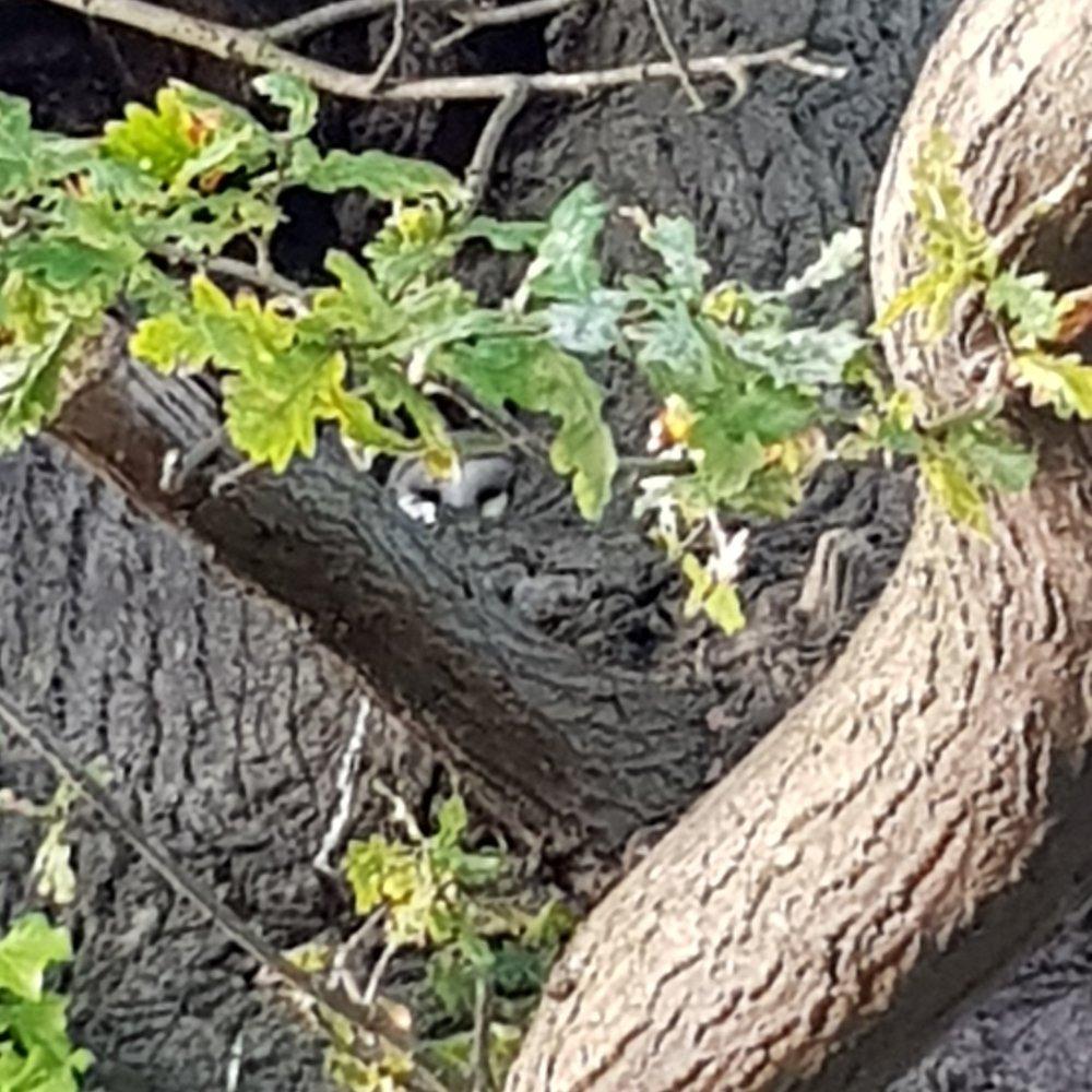 Barn Owl peeking out from an oak tree.