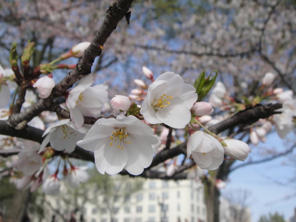 washington-dc-cherry-blossoms.jpg