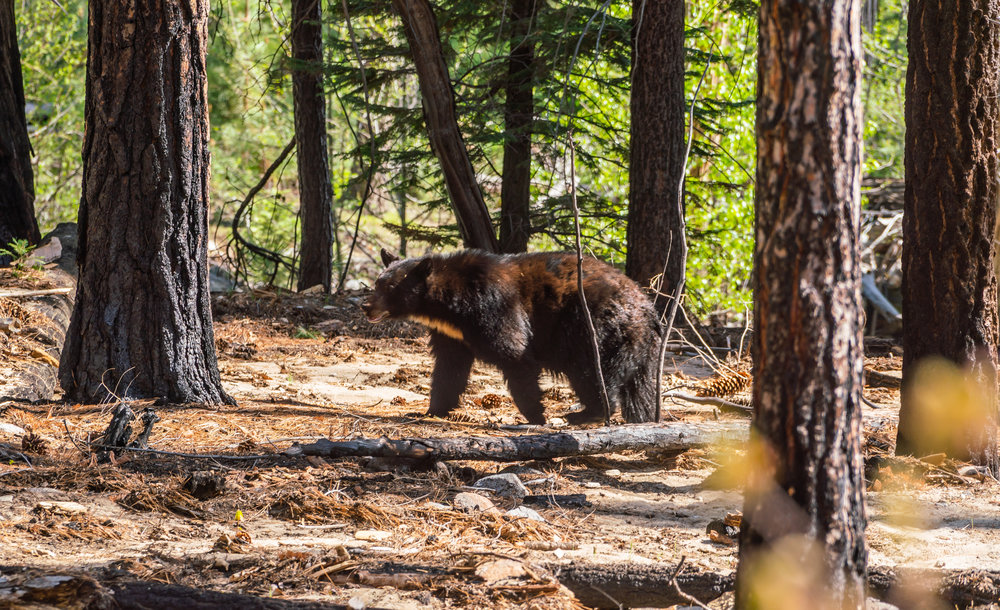 Momma Bear, Kings Canyon National Park