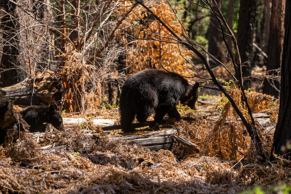 Bear cubs, Kings Canyon National Park