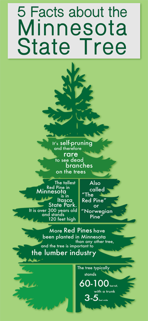 5 facts about minnesota state tree.png