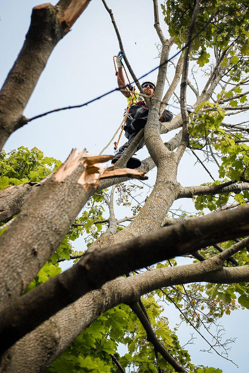 birch tree care tree trimming arborist.jpg