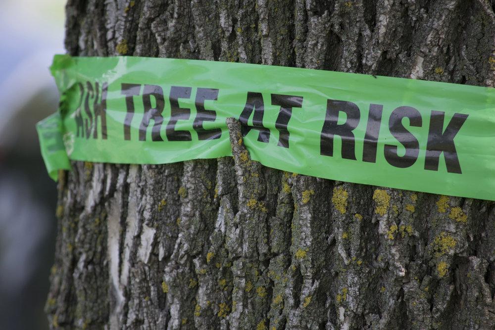 ash tree at risk eab.jpg