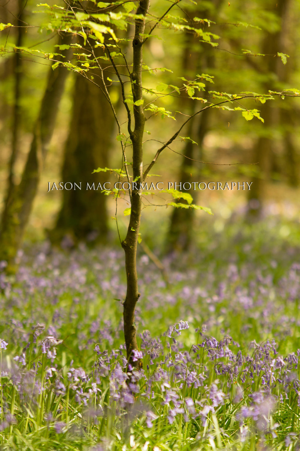 Bluebell wood - Dublin Photographer Jason Mac Cormac
