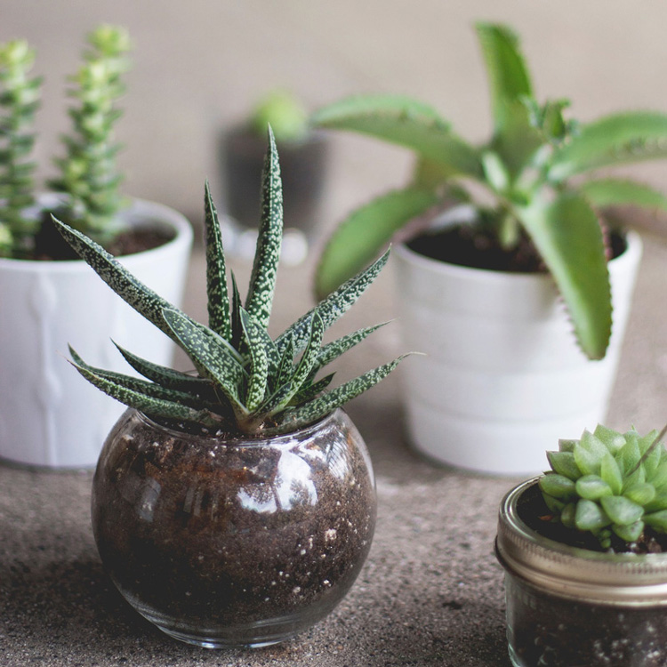 Small potted succulent plants