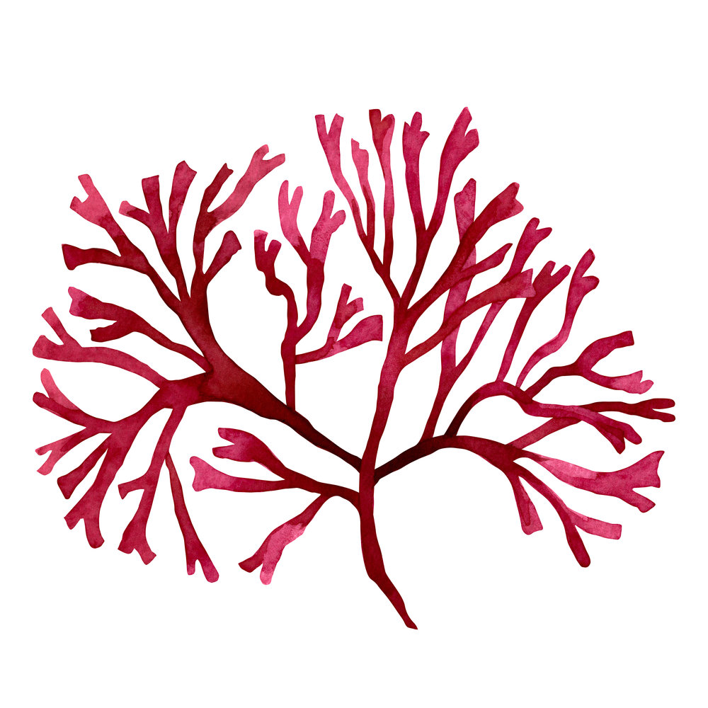 Red Seaweed - What it does:Red seaweed is a popular ingredient in anti-aging skincare products because it helps scavenge free radicals that lead to wrinkles and age spots. It also helps energize your skin for a more radiant, rejuvenated look.How it works:Red seaweed contains high levels of antioxidants and trace elements like calcium, zinc, and magnesium, which are essential components of healthy looking skin (think clearer looking, more even-toned skin).