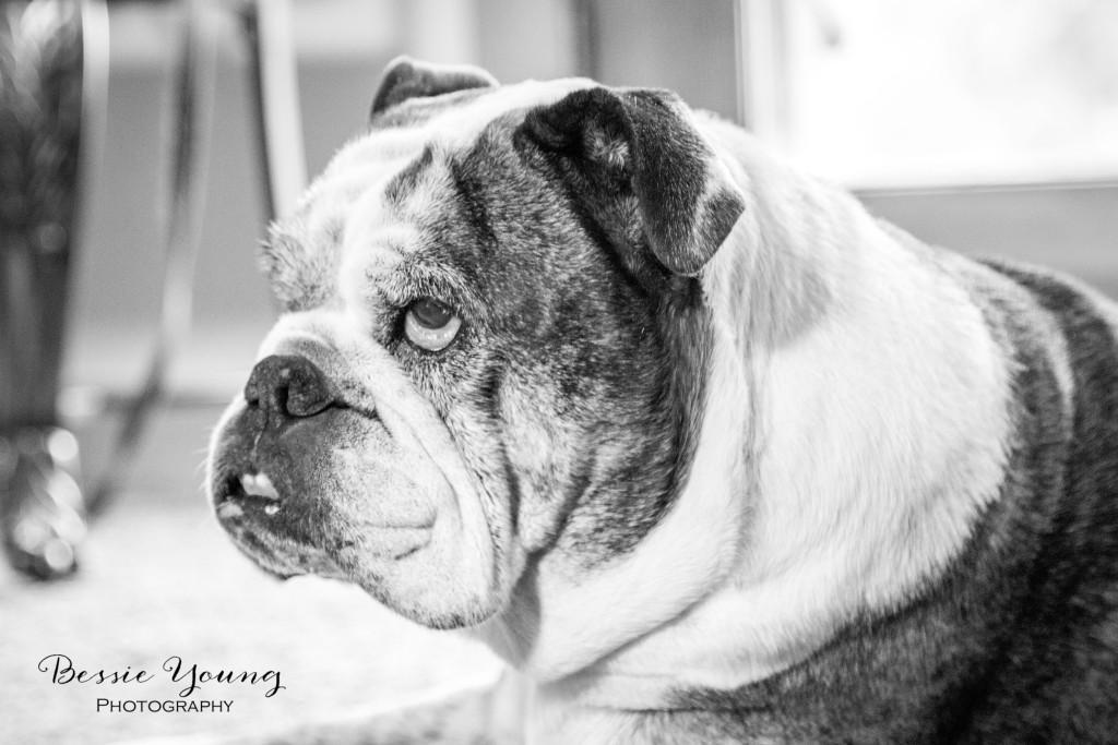 English Bulldog Pet Portraits Fresno