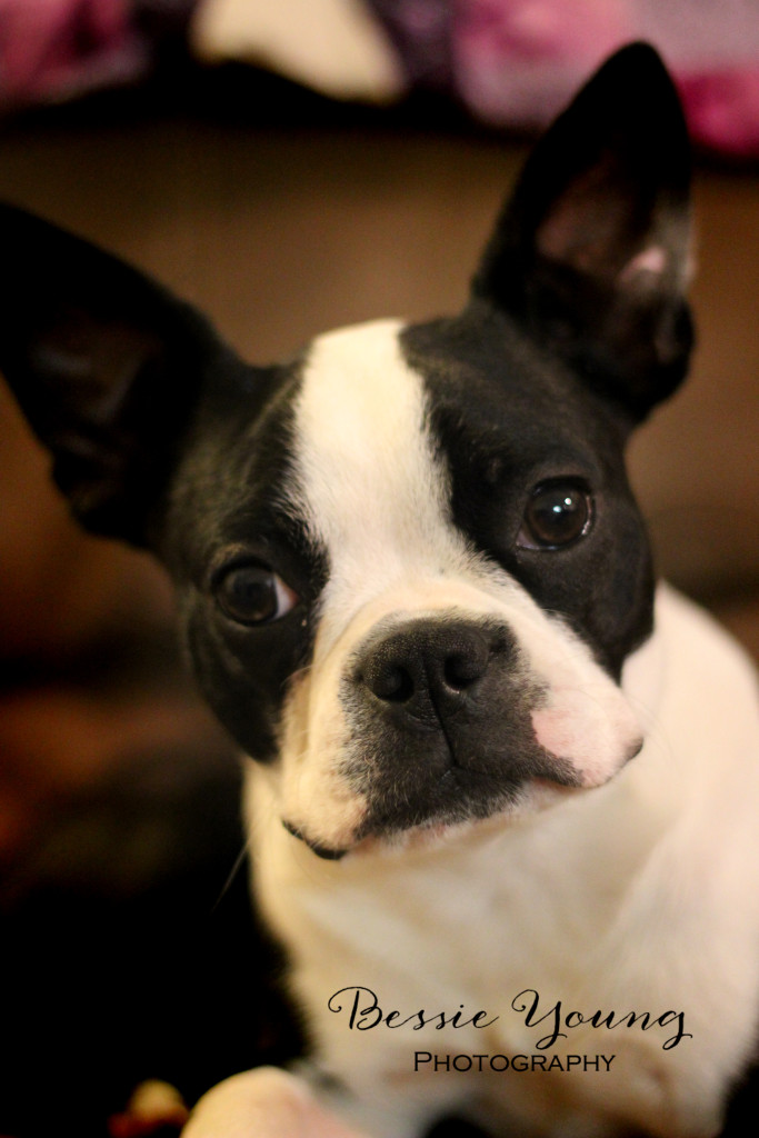 bessie young photography boston terrier yota