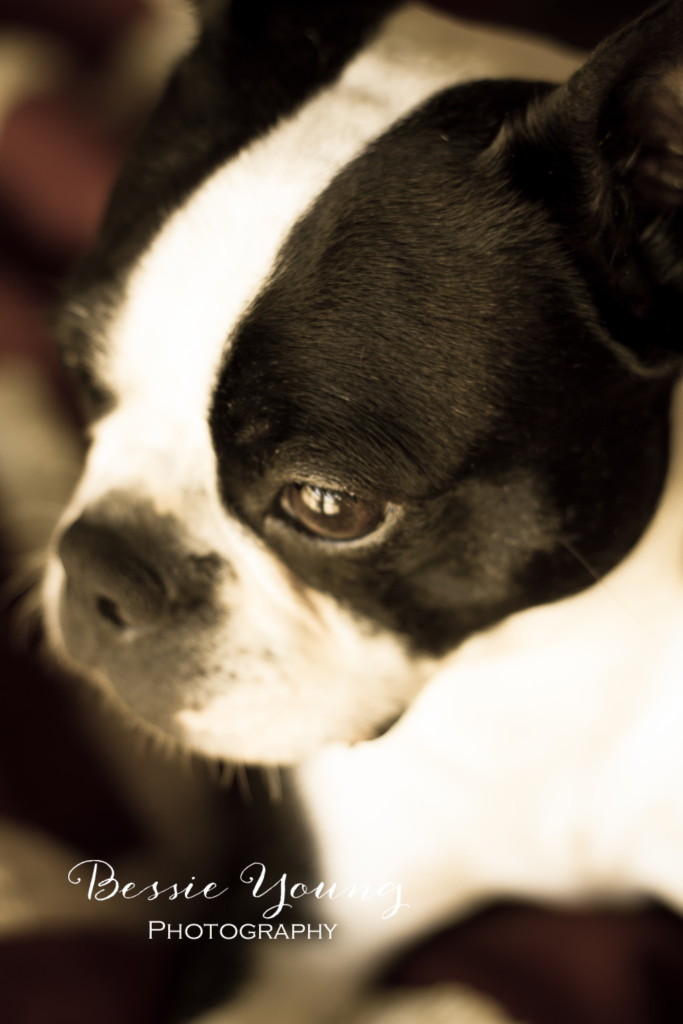 Boston Terrier Bessie Young Photography