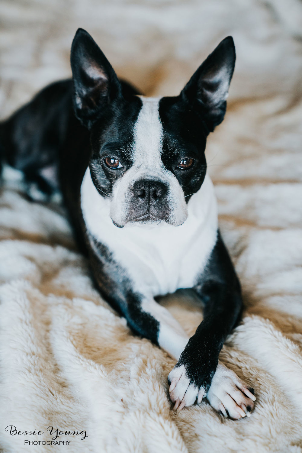 Pet Portraits | Yota the Boston Terrier Photographed by Bessie Young Photography