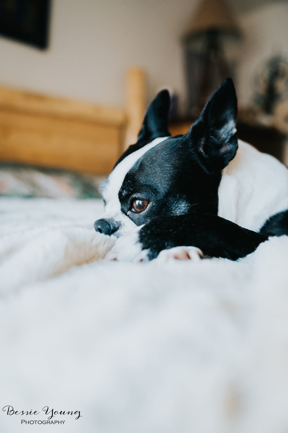 Yota the Boston Terrier Dog Pet Portrait photographed by Bessie Young Photography