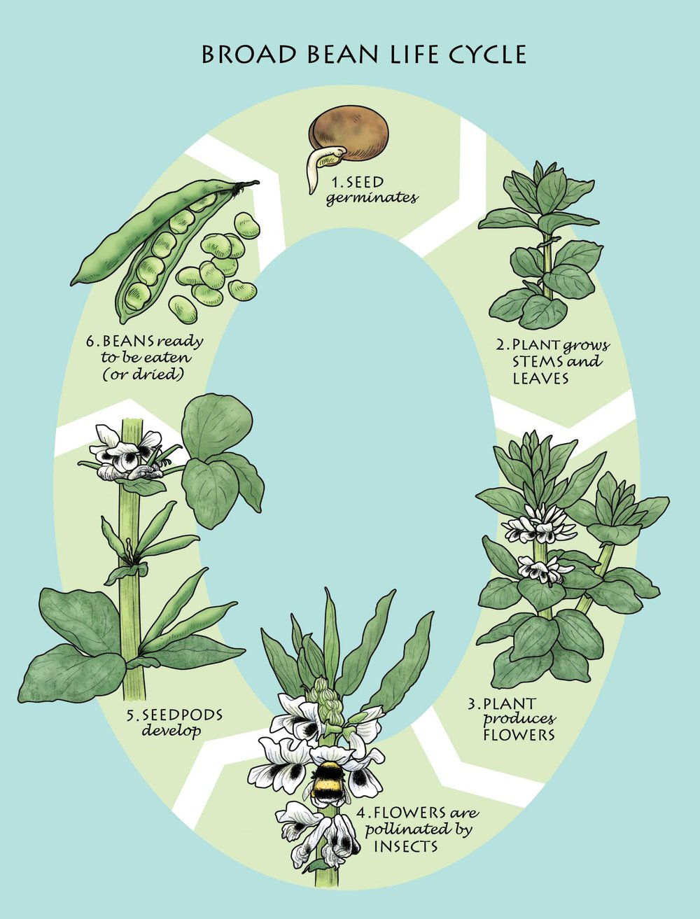 Broad Bean Life Cycle