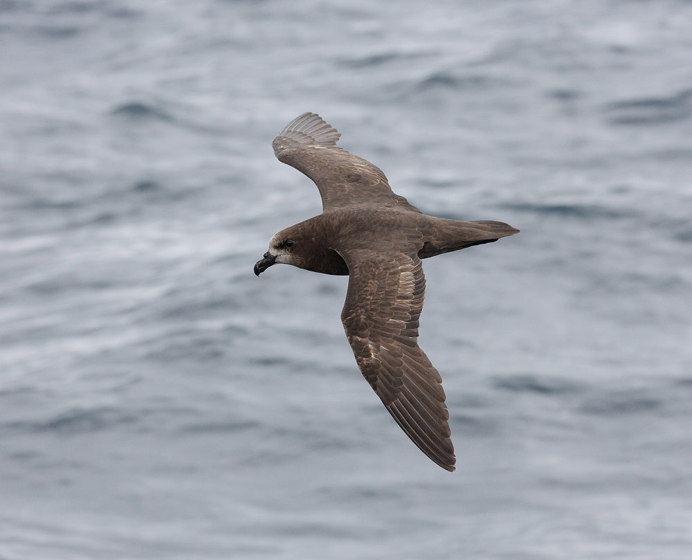 Oi the Grey-faced Petrel Dec 2006.jpg