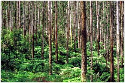 Eucalypt-forest-in-Victoria.jpg