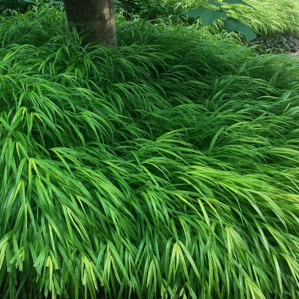 Hakonechloa macra - Japanese forest grass