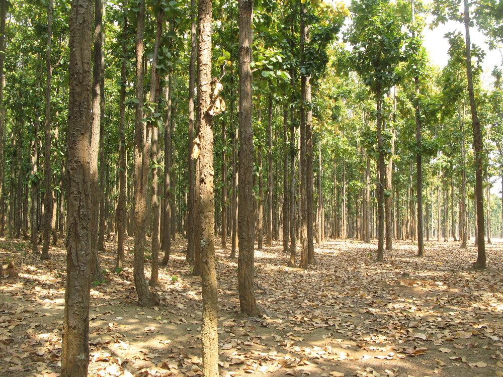 Metsää Dangin alueella Nepalissa
