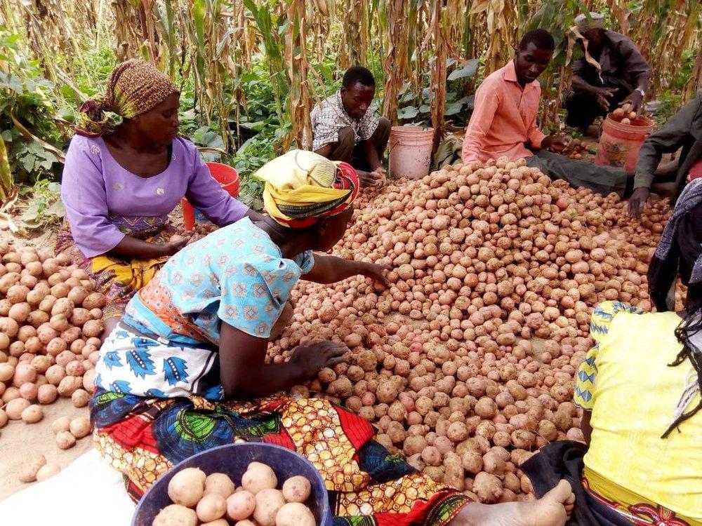 Faidika-viljelijäryhmän sadonkäsittelykoulutusta saaneet viljelijät lajittelevat kerättyä perunasatoa Kananin kylässä Wanging'omben kunnassa. Kuva: NADO