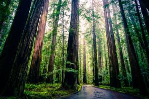 redwoods-300x200.jpg