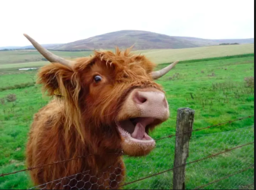 I included this picture for no other reason that I like highland cows and this one looks... humorous.