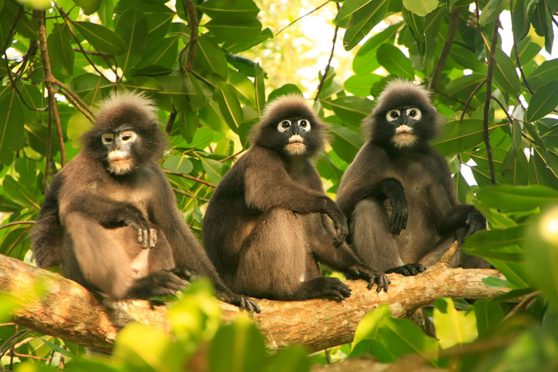 Langurs rule Ang Thong National Park. In addition, there are 16 species of mammals like otters, langurs, crab-eating monkeys, hogs, silver haired bats, dolphins and whales.