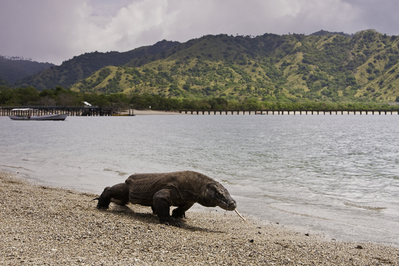 We will visit Komodo Dragon National Park and experience one of the mythic creatures to walk the Earth.