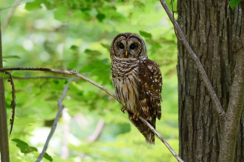 the-barred-owl.jpg