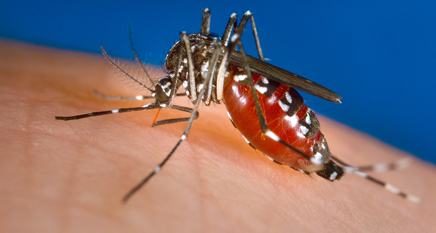 Female Asian tiger mosquito ( Aedes albopictus ) (Science)