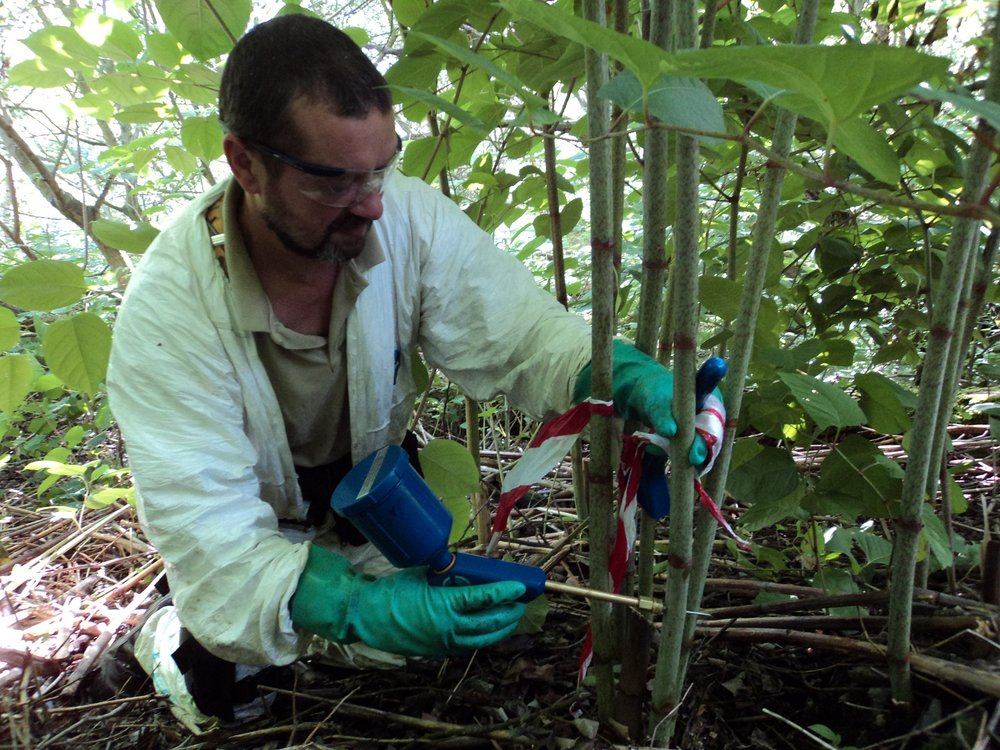 ERADICATION   We are national experts in Japanese Knotweed eradication.