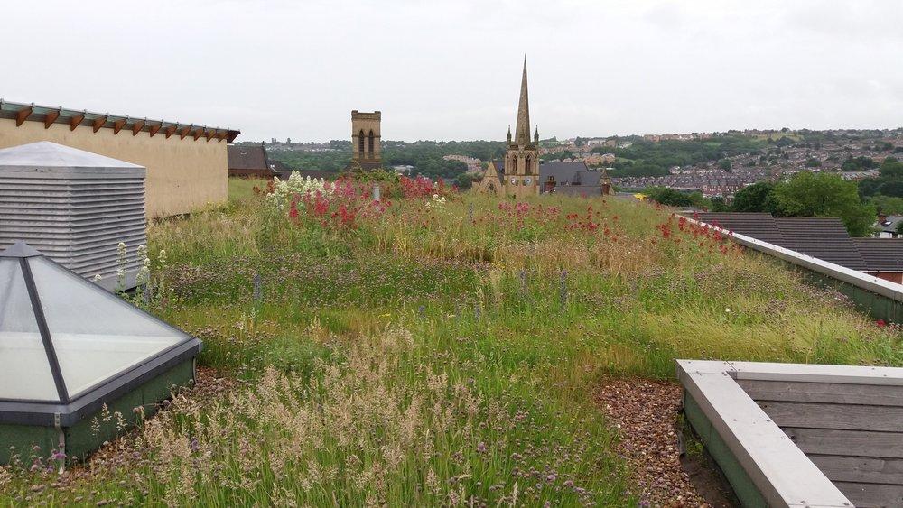 Sharrow School Green Roof in Summer