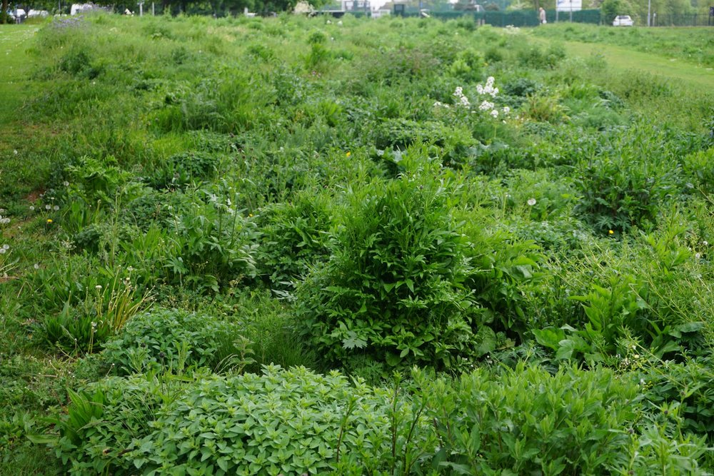 Perennial meadows before flowering.JPG