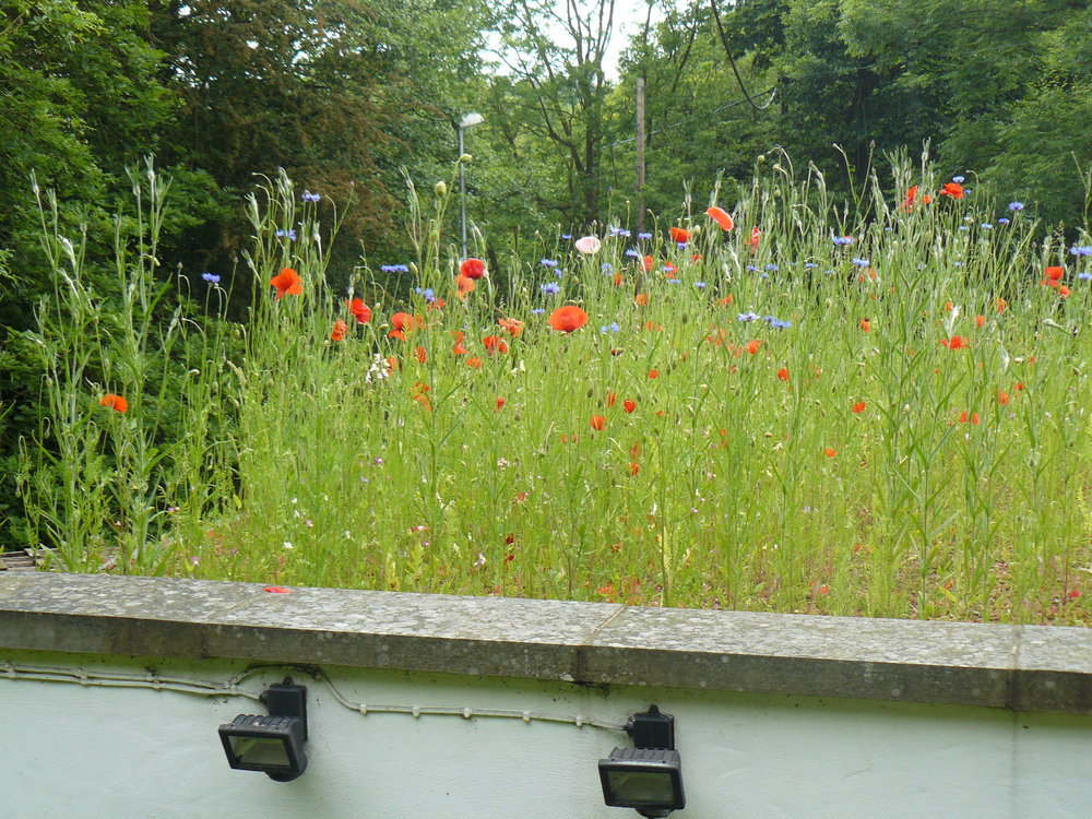Annual meadow green roof