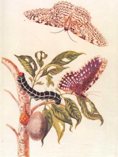 Metamorphosis of a Butterfly from  Metamorphosis insectorum Surinamensium  (1705).