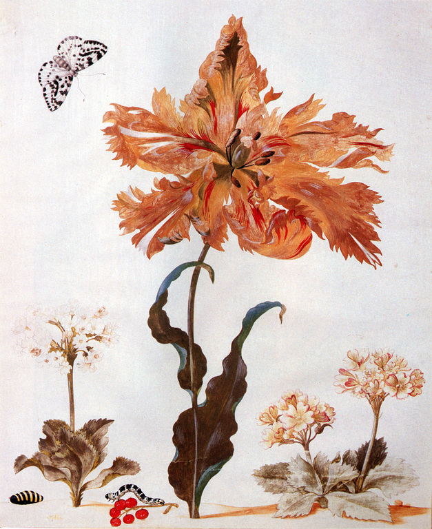 A Parrot Tulip, Auriculas, and Red Currants, with a Magpie Moth, its Caterpillar and Pupa