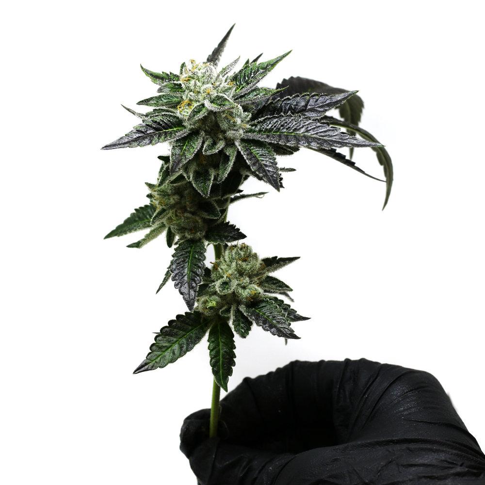 Blueberry Hands Fresh Harvest 1 120318.jpg