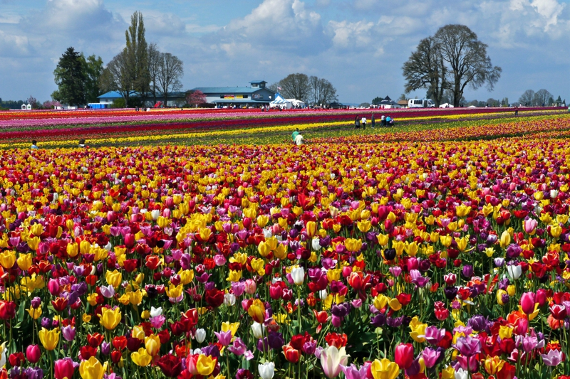 The gorgeous tulip fields at the Wooden Shoe Tulip Fest. Image Courtesy: activerain.com
