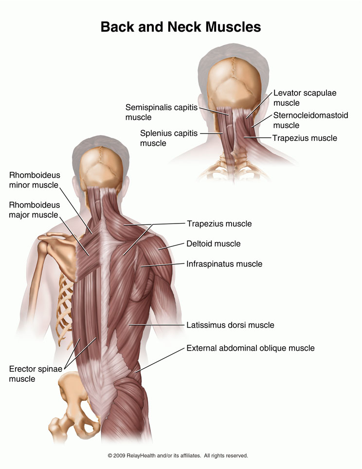 Back and Neck Muscles