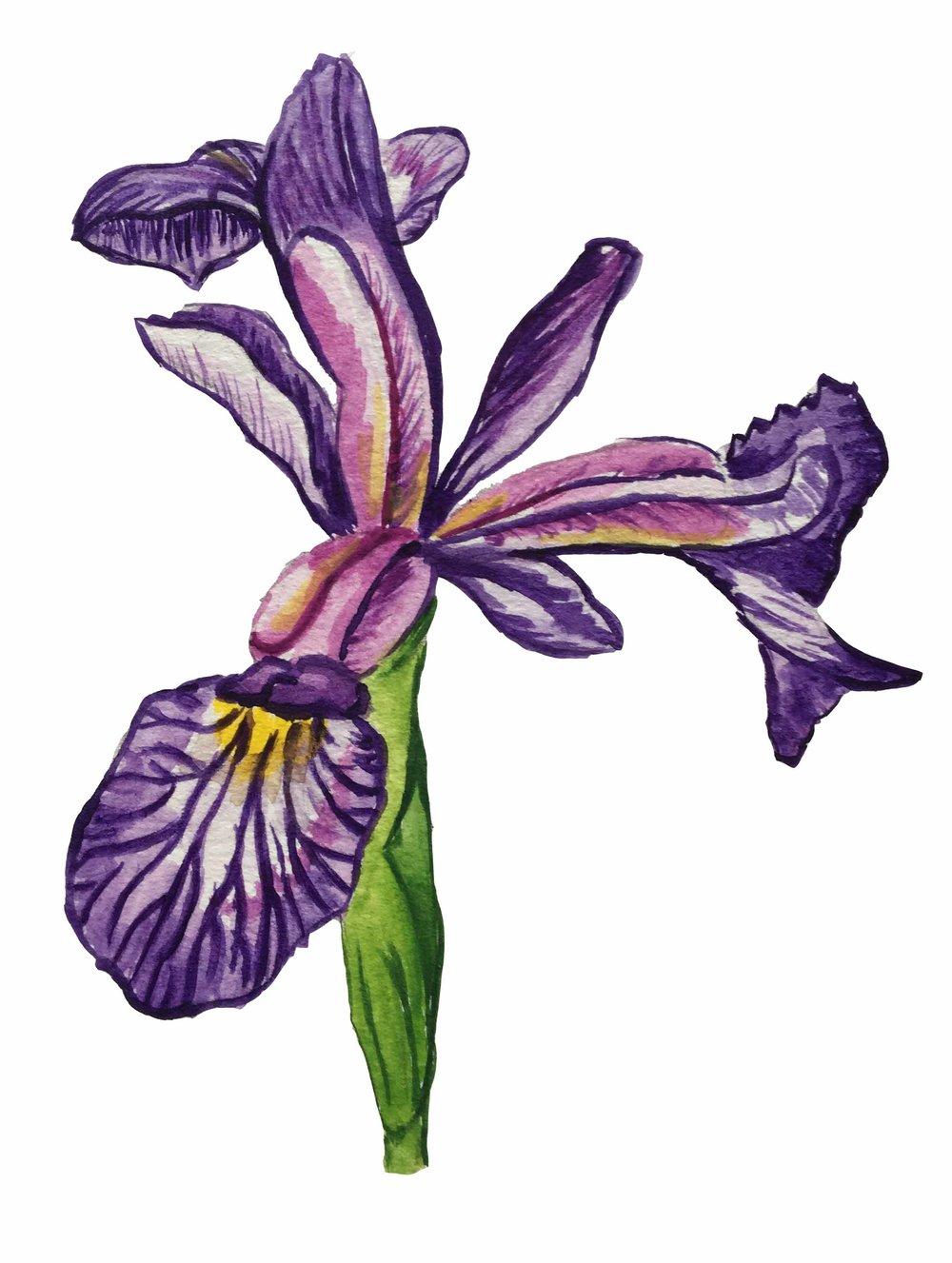 dwarf lake iris low res.jpg