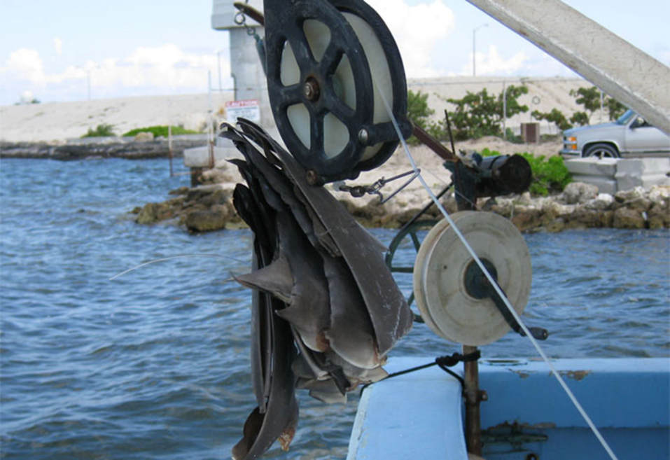 shark fin fishing vessel.png