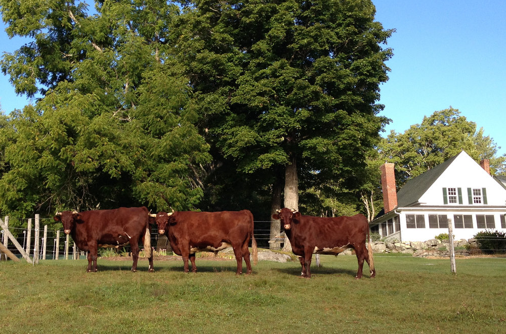 Cattle once again live at Honey Hill