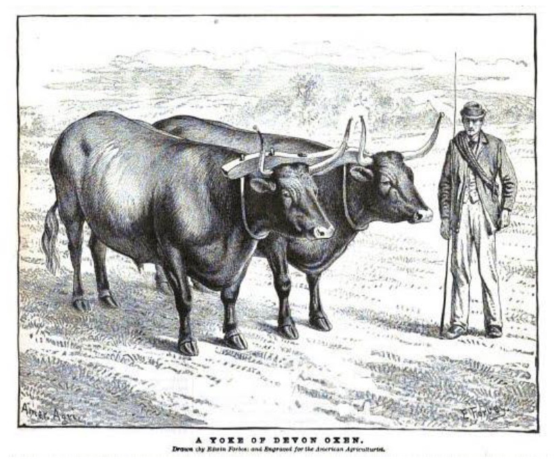 Engraving of a five-year-old team raised in Litchfield, CT.       From Volume 43, page 541 of the American Agriculturalist, as excerpted in the October 2017 issue of the American Milking Devon Cattle Association newsletter.     www.milkingdevons.org