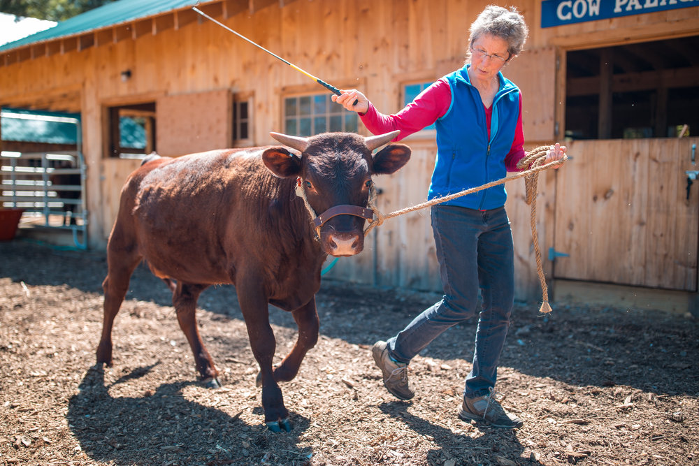 Regular practice of commands -- come up, whoa, gee, haw, back up -- maintains manners and respect. Here's Burley, a yearling bull.