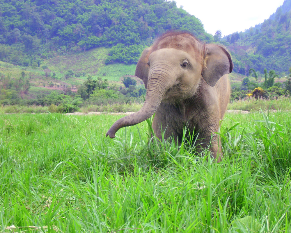 """Baby Elephant"" by Rachel Bradley. Photo Location: Chiang Mai, Thailand."